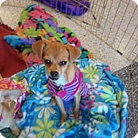 Adopt A Pet :: Daphney - Encinitas, CA