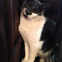 Domestic Shorthair Cat for adoption in Brooklyn, New York - Ernest