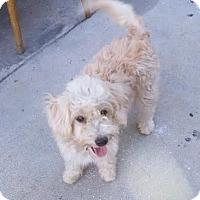 Adopt A Pet :: Fluffy - Encino, CA