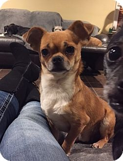Chihuahua/Pug Mix Dog for adoption in Morganville, New Jersey - Little Man (Unavailable for Adoption at this time)