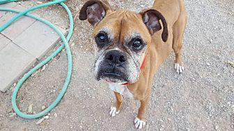Boxer Dog for adoption in Las Vegas, Nevada - Pennylane