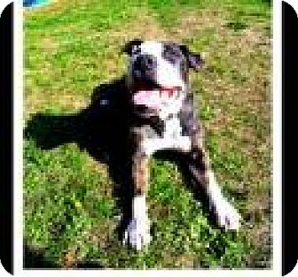 American Bulldog/Basset Hound Mix Dog for adoption in Bainbridge Island, Washington - BENTLEY (Oak Harbor) Perfect playful TRAINED