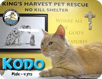 Domestic Shorthair Cat for adoption in Davenport, Iowa - Kodo