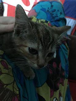 Domestic Shorthair Cat for adoption in Harrisburg, Pennsylvania - Manny (teenage male)