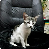 Adopt A Pet :: Kittens Jerry, Guapo andMr. Cuddles * - Miami, FL