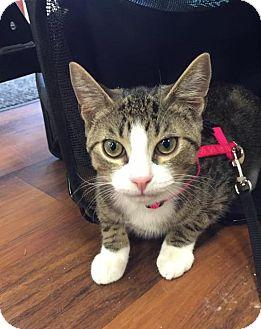 Domestic Shorthair Cat for adoption in Freeport, New York - Brad