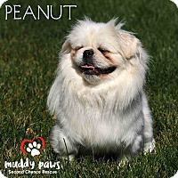 Pekingese Dog for adoption in Council Bluffs, Iowa - Peanut (Pekingese)