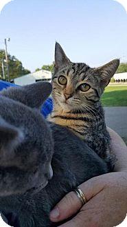 Manx Kitten for adoption in Florence, Kentucky - Ana