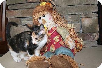 Domestic Shorthair Kitten for adoption in Herndon, Virginia - Stina (& Rollo)