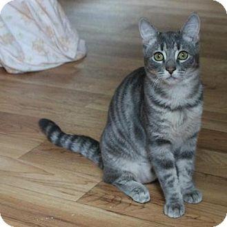 Domestic Shorthair Kitten for adoption in San Carlos, California - Teacup