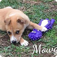 Labrador Retriever Mix Puppy for adoption in Mobile, Alabama - Mowgli