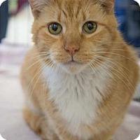 Domestic Shorthair Cat for adoption in Merrifield, Virginia - Red Cloud