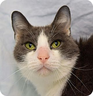 Domestic Shorthair Cat for adoption in Greenfield, Indiana - Smokey