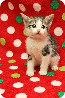 Domestic Shorthair Kitten for adoption in Yucaipa, California - Dakota