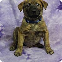 Adopt A Pet :: GIUSEPPE - Westminster, CO