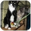 Photo 1 - Domestic Shorthair Cat for adoption in New York, New York - Terri