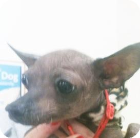 Chinese Crested Mix Dog for adoption in Tucson, Arizona - Hope