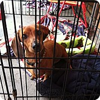 Adopt A Pet :: Pippy - North Hollywood, CA
