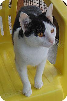 Domestic Shorthair Cat for adoption in Jackson, Missouri - Tipsy
