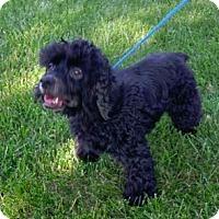 Adopt A Pet :: Phoebe - Hillside, IL