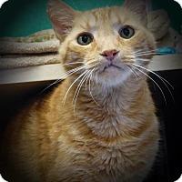 Domestic Shorthair Cat for adoption in Sedona, Arizona - Hemi