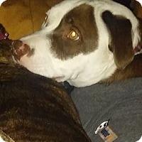 Australian Shepherd/Pit Bull Terrier Mix Dog for adoption in Houston, Texas - Fancy