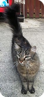 Domestic Longhair Cat for adoption in Columbus, Ohio - Buddy