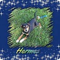Adopt A Pet :: Hermes - Genoa City, WI