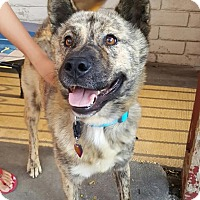 Adopt A Pet :: Tigger - Fullerton, CA