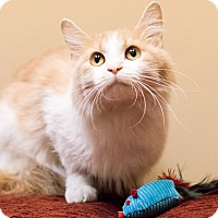 Domestic Longhair Cat for adoption in Chicago, Illinois - Fawn