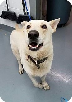 German Shepherd Dog Dog for adoption in Mission, Kansas - Alex Karev