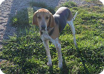 Treeing Walker Coonhound/Redtick Coonhound Mix Dog for adoption in Prole, Iowa - Chewie