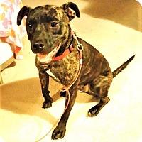 Adopt A Pet :: Gunner (2) - Schaumburg, IL