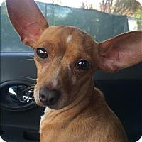 Adopt A Pet :: Candy - Encino, CA