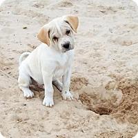 Adopt A Pet :: Ripley - San Antonio, TX