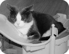 Domestic Shorthair Cat for adoption in Medford, Massachusetts - Nolan - Courtesy Post