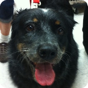Border Collie/Australian Shepherd Mix Dog for adoption in Gilbert, Arizona - Spot