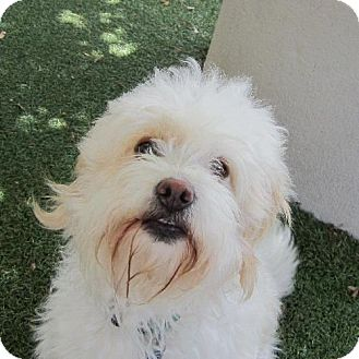 Miniature Poodle Mix Dog for adoption in Castro Valley, California - Roxie