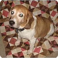 Adopt A Pet :: Oliver Wendell - Phoenix, AZ