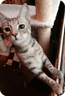 Domestic Shorthair Cat for adoption in Stafford, Virginia - Sweet Rose