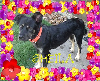 Collie/English Shepherd Mix Dog for adoption in Houston, Texas - Sheila