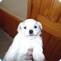 Adopt A Pet :: Puppy 2 Black Collar - Quincy, IN