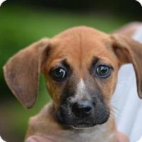 Adopt A Pet :: Sienna - Doylestown, PA