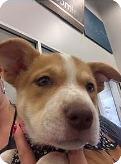 Australian Cattle Dog Mix Puppy for adoption in San Angelo, Texas - Pearl