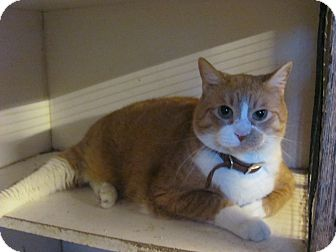 Domestic Shorthair Cat for adoption in Houston, Texas - Lewis (declawed)