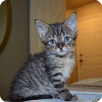 Domestic Shorthair Kitten for adoption in Austin, Texas - Jenna