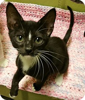 Domestic Shorthair Kitten for adoption in Los Angeles, California - Oreo
