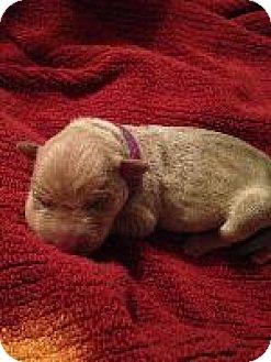 Weimaraner Puppy for adoption in Fayetteville, Arkansas - Purple(Violet)