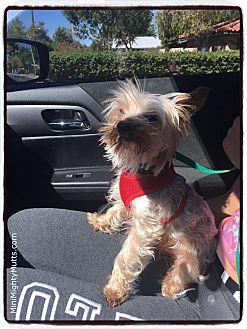 Yorkie, Yorkshire Terrier Mix Dog for adoption in Phoenix, Arizona - Gummy Bear