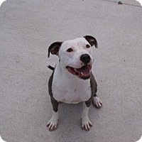 American Pit Bull Terrier Mix Dog for adoption in Manteo, North Carolina - Timbles